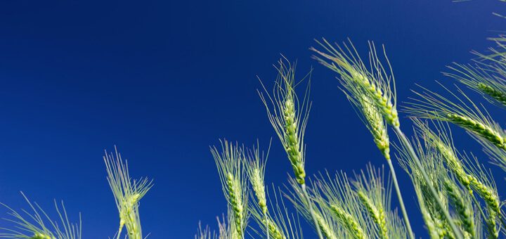 Wheat ears against a blue sky