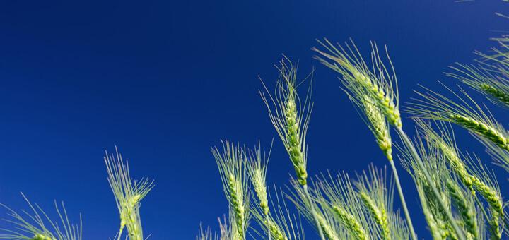 Wheat ears against a blue sky
